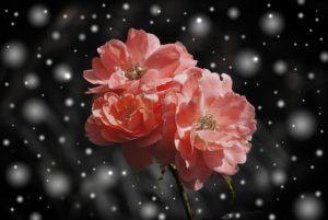 rose-572757_1920